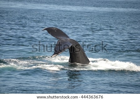 Humpback whale off boston mass