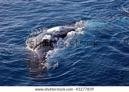 Humpback whale on its side in the ocean - stock photo