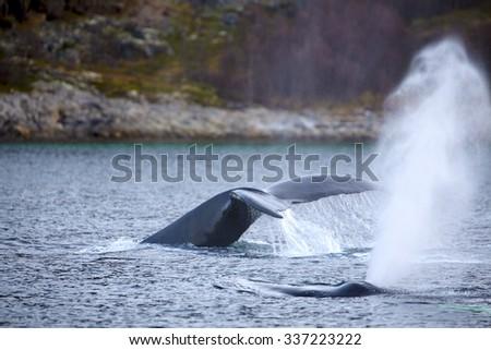 Humpback whale safari in the arctic  - stock photo