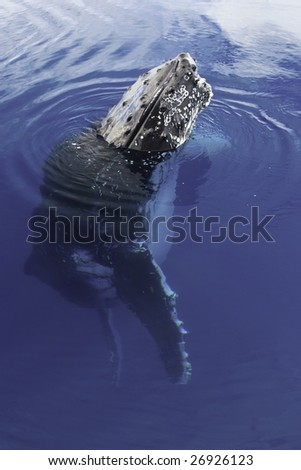 Humpback Whale Spy Hop - stock photo