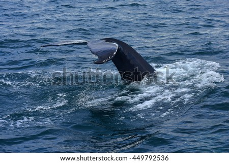 Humpback whale swimming off the coast of Husavik, Iceland - stock photo