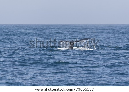 Humpback whale tail in the Pacific ocean. - stock photo