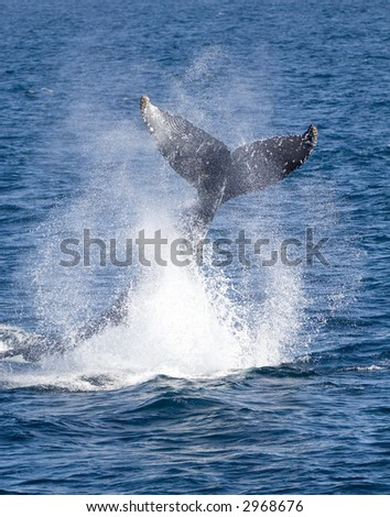 Humpback Whale Tail Slap - stock photo