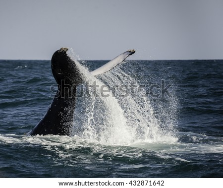 Humpback whale tail slapping during the winter migration north to warmer waters. South Africa - stock photo