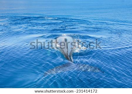 Humpback Whale underwater in Hervey bay, Queensland, Australia - stock photo