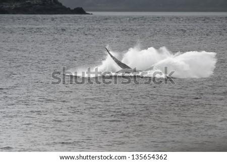 Humpback whale while breaching in Glacier Bay Alaska - stock photo