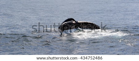 Humpback Whales feeding at Stellwagen Bank