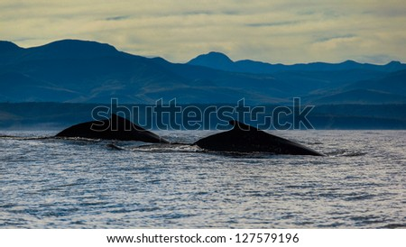 Humpback whales in africa - stock photo