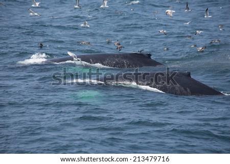 Humpback Whales in Cape Cod, USA - stock photo