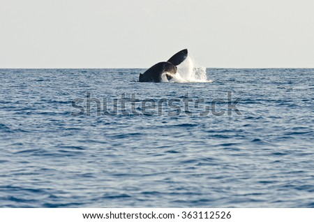 Humpback whales visit the the westcoast of Reunion Island in the Indian Ocean - stock photo