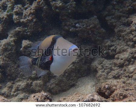 Humuhumunukunukuapuaa Reef Trigger Fish - Hawaii State Fish - stock photo