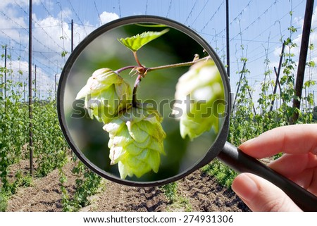Humulus lupulus in hop garden - czech agriculture - ecological farming - stock photo