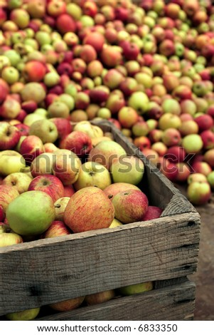 Hundreds of apples picked to be squished into apple juice.