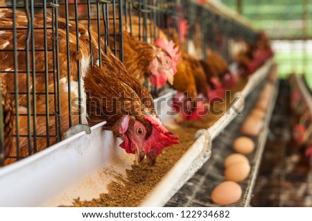 Hundreds of chicken eggs. Eating and eggs. - stock photo