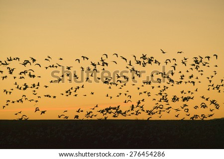 Hundreds of snow geese fly over the Bosque del Apache National Wildlife Refuge at sunrise, near San Antonio and Socorro, New Mexico  - stock photo