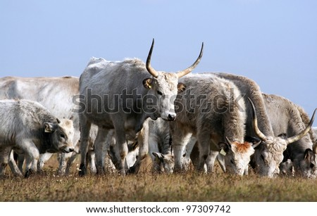 Hungarian gray cattle eating in the field - stock photo