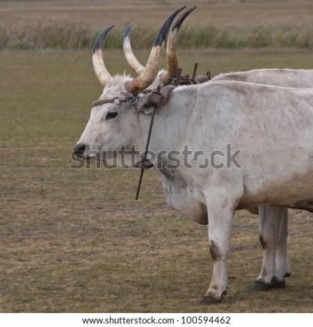 Hungarian grey cattle used as pack animals, Hortobagy National Park, Hungary - stock photo