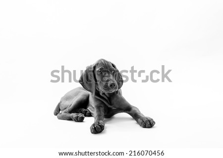 Hungarian or Magyar vizsla dog sitting,on white background with black and withe fiter - stock photo