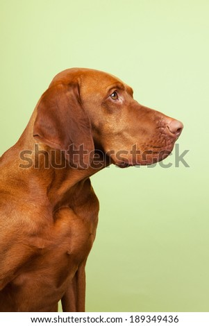 Hungarian or Magyar Vizsla isolated overgreen background