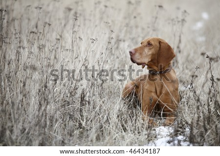 hungarian pointer 3. - stock photo
