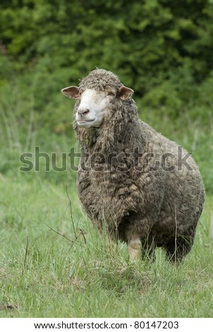 Hungarian sheep - stock photo