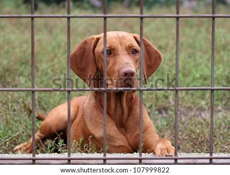 Hungarian Vizsla behind a fence - stock photo
