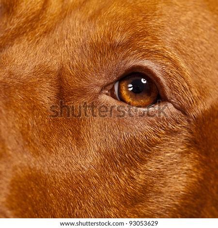 Hungarian Vizsla Dog - stock photo