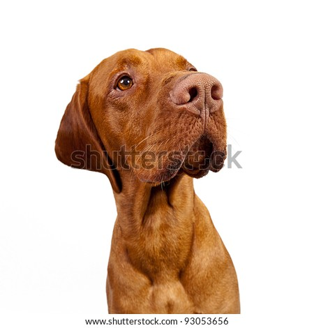 Hungarian Vizsla Dog - stock photo