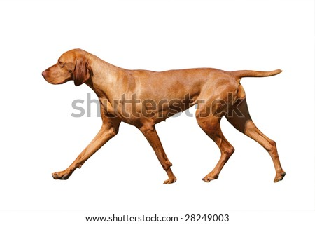 Hungarian Vizsla isolated with clipping path - stock photo