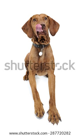 Hungarian vizsla licking lips in white background
