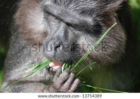hungry Ape - stock photo