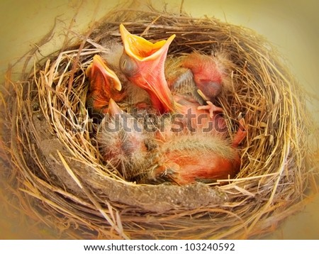 Hungry baby birds in nest - colorful / in vivid color young birds - stock photo
