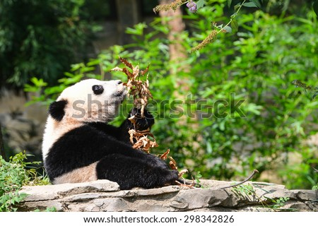 Hungry baby panda in forest - stock photo
