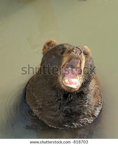 Hungry Bear - stock photo