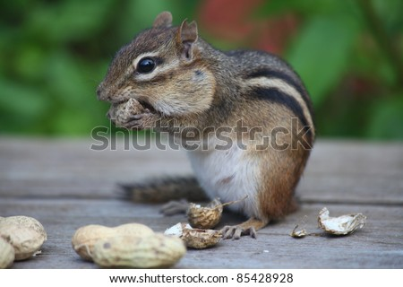 hungry chipmunk eating peanuts after taking the shells off them - stock photo