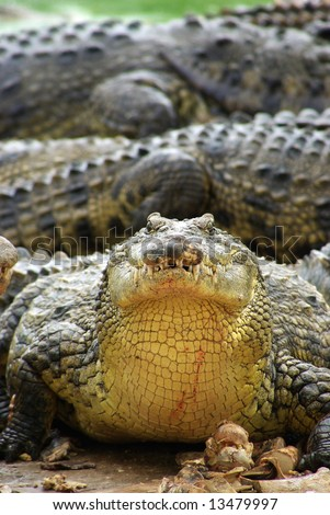 hungry crocodile with food