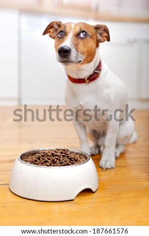 hungry  dog waiting to eat out of  his big white bowl - stock photo