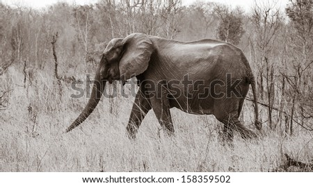 hungry elephant in the savannah, Zimbabwe, Africa - stock photo