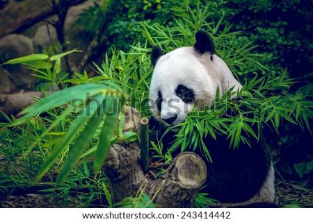 Hungry giant panda bear eating bamboo - stock photo