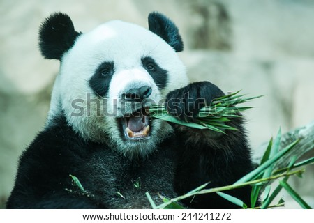 Hungry giant panda eating bamboo - stock photo