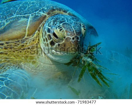 Hungry Green Turtle - Chelonia mydas