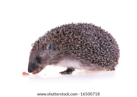 hungry hedgehog - stock photo