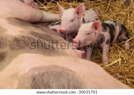 Hungry little pigs - stock photo