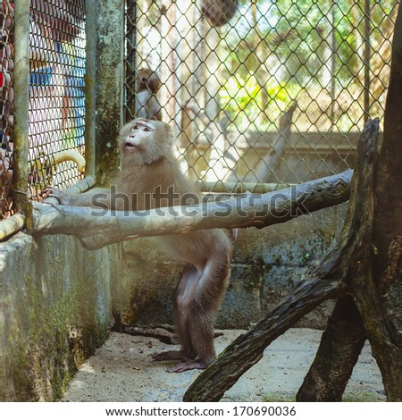 Hungry monkey sitting in captivity at the zoo, Thailand - stock photo