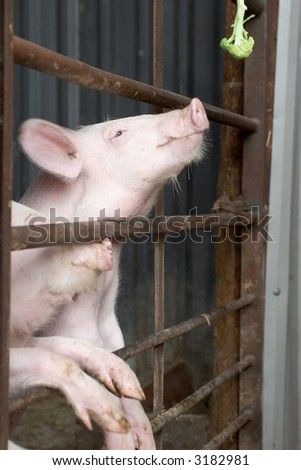 Hungry Pig - stock photo