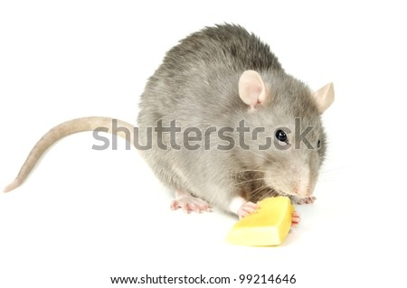 Hungry rat eating yellow cheese, on a white background - stock photo