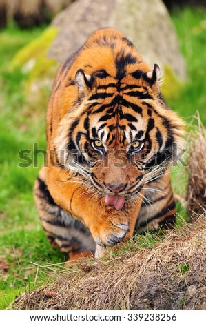 Hungry tiger licks its paws staring at the camera - stock photo