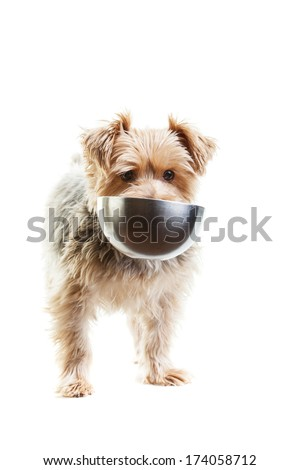 Hungry yorkshire terrier with his food dish in its mouth. On a white background. - stock photo