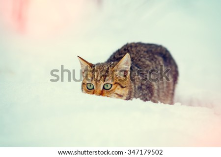 Hunter cat  sneaking in the snow - stock photo