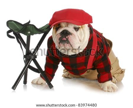 hunting dog - english bulldog dressed like a hunter wearing red baseball cap sitting beside hunting stool - stock photo